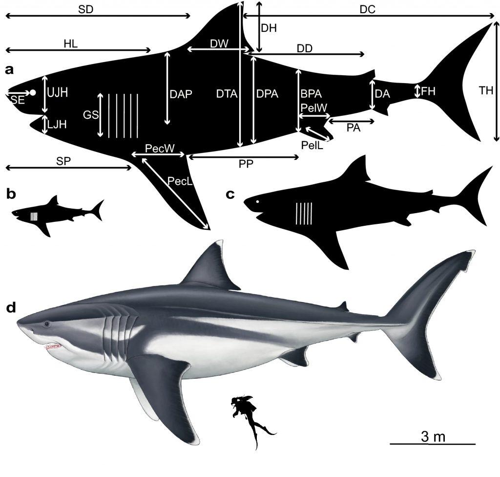 Modelos de silueta que visualizan las dimensiones corporales del extinto Otodus megalodon, según extrapolaciones a diferentes longitudes totales. (ilustración de Oliver E. Demuth).
