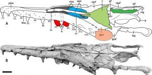 Cráneo de Gavialimimus almaghribensis