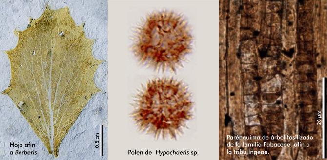 Los autores investigaron el registro fósil (polen, hojas y madera
